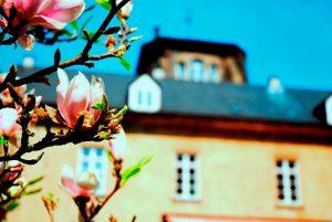 Magnolienblüte im Park